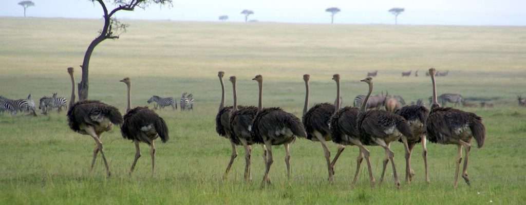 flock_of_ostrich_on_serengenti_by_tanzafari-d4la0kt